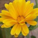 Soucis - Calendula officinalis