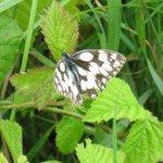 Demi-Deuil - Papillon