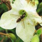 Syrphe ceinturé - Episyrphus balteatus