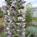 Acanthe - Acanthus spinosus