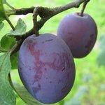 Quetsche - Prunus domestica