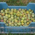 Reine-claude - Prunus domestica