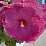 Hibiscus des marais - Hibiscus moscheutos