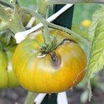 Tomate 'Evergreen'