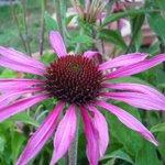 Echinacée purpurea 'Maxima' - Echinacea