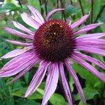 Echinacée 'Profusion' - Echinacea
