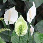 Spathiphyllum - Fleur de lune