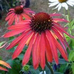 Echinacée 'Hot Summer' -  Echinacea