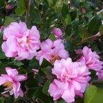 Camélia sasanqua - Camélia d'automne