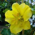 Fremontodendron