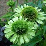 Echinacée 'Green Jewel' - Echinacea