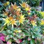 Sedum floriferum 'Weihenstephaner Gold'