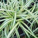 Carex hachijoensis - Laîche