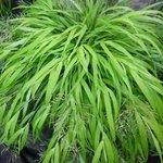 Hakonechloa macra - Herbe du Japon