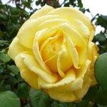 Rose variée - Rosa