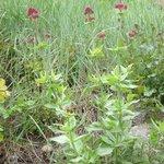 Valériane - Centranthus ruber