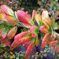 Berberis amurensis 'Rugidicans'