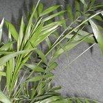 Chamaedorea elegans - Palmier nain