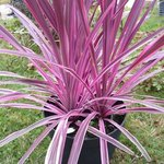 Cordyline australis 'Pink Passion'