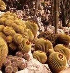 Echinocactus - Coussins de belle-mère - Cactus oursin