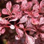 Berberis thunbergii 'Rosy Glow'