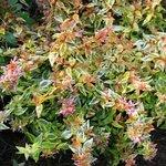 Abelia grandiflora 'Kaléidoscope'