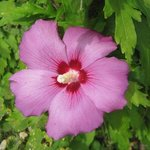 Althéa - Hibiscus syriacus