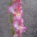 Glaïeul - Gladiolus