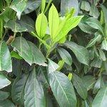 Laurier palme - Prunus laurocerasus 'Caucasica' - Laurier du Caucase