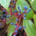 Viburnum davidii - Viorne de David