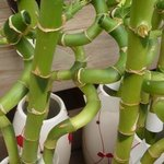 Lucky Bambou - Dracaena sanderiana