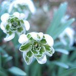 Perce-neige 'Flore Pleno' - Galanthus nivalis