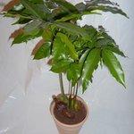 Castanospermum magnifica