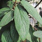 Viburnum rhytidophyllum - Viorne