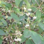 Lonicera fragrantissima - Chèvrefeuille d'hiver