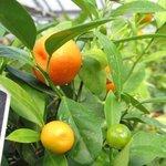 Calamondin - Citrus mitis ou madurensis - Agrume
