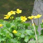 Caltha palustris - Souci d'eau