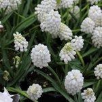 Muscari 'White Magic'