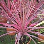 Cordyline australis 'Southern Splendour'