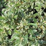 Pyracantha 'Sparkler' - Buisson ardent