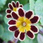 Primula 'Gold Laced' - Primevère