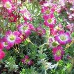 Saxifrage 'Pixie Rose' - Saxifraga