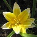 Tulipe botanique 'Tarda' - Tulipa