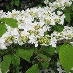 Viburnum plicatum - Viorne