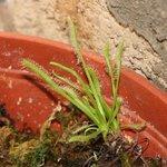 Drosera capensis 'Albinos' - Plante carnivore