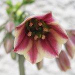 Allium nectaroscordum siculum - Ail de Bulgarie