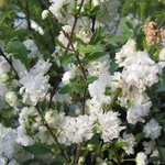 Prunus glandulosa 'Alba Plena' - Cerisier