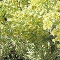 Euphorbe characias 'Tasmanian Tiger' - Euphorbia