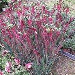 Anigozanthos - Plante kangourou