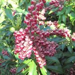 Pieris japonica 'Passion' - Andromède